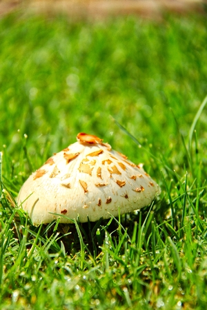 A gilled parasol on the Sonoran desert growing in green grass.