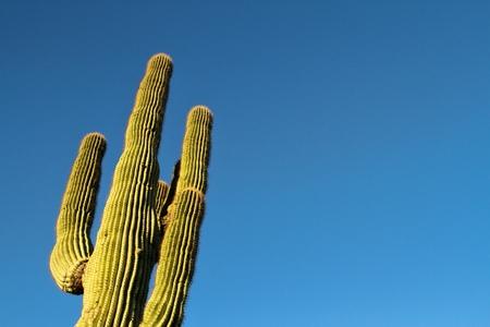 A saguaro cactus with blue sky as copy space.