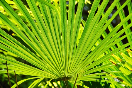 Detail of a palm fan with sunlight passing through. Reklamní fotografie