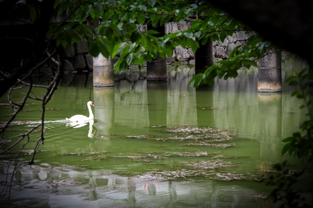 A lone swan swimming in a pool of green water.