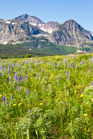 A field of wildflowers carpeting the landscape in Glacier National Park with a forest in the background and a mountain rising against the sky. Stockfoto - 110925842