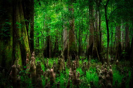 Looking into the swamp filled with trees in Congaree National Park