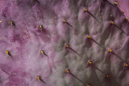 Close up of the pads of a purple prickle Pear cactus with thorns in direct sunlight.