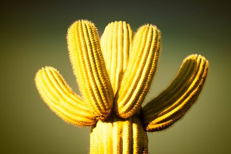 A close up of the top of a saguaro cactus with multiple arms of the same length against an empty background.