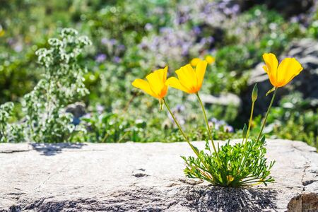 Three California Poppies growing out of a rock in full daytime sunlight.