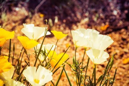 A close up of several California Poppies and ivory castles in full sunlight in a natural setting.