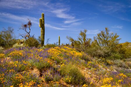 A Saguaro cactus in the desert of Arizona on a hill with a super bloom of California poppies at its base.