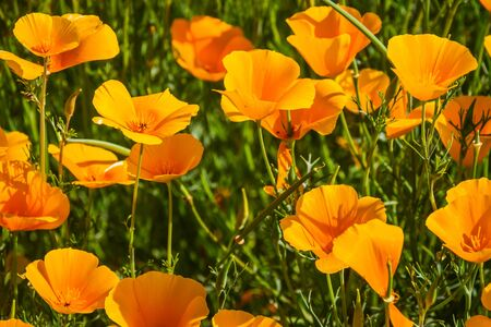 A close up of several California Poppies in full sunlight in a natural setting.