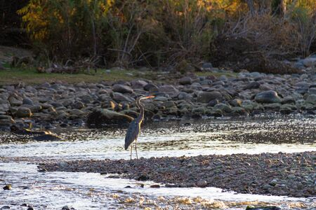 A great blue haring standing in the shallow waters of the Salt River in Tonto National Forest in Arizona.