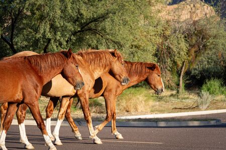 Three wild horses from the Salt River herd in Tonto Nation Forest standing together.