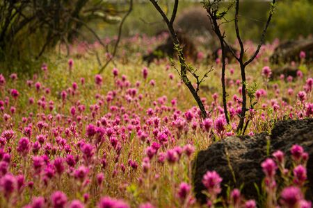 Close up of a field of purple owl's clover, a small tree and a rock with a very limited depth of focus in the Sonoran desert of Arizona.