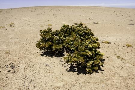 precipitacion: El d�lar de Bush en el desierto de Namib, donde la precipitaci�n anual promedio es de menos de 20 mm. Foto de archivo