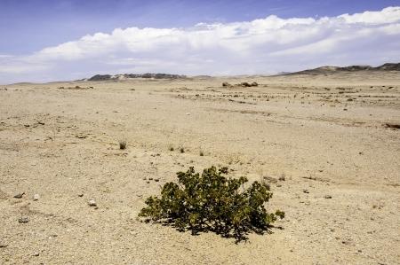 precipitation: The Dollar Bush in Namib Desert where the average annual precipitation is less then 20mm.