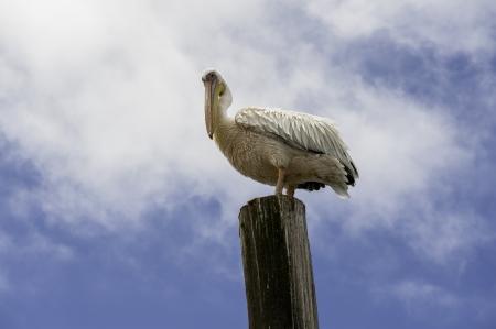 pelikan: A Pelican in Walvis Bay of Namibia.