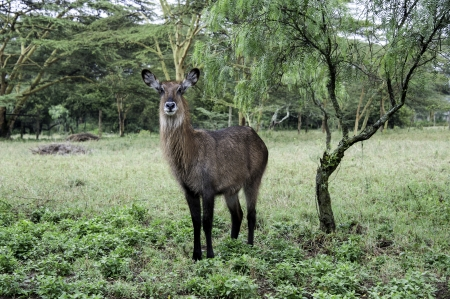 lake naivasha: The waterbuck in Naivasha lake of Kenya