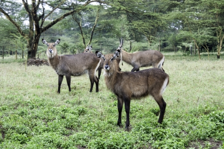 naivasha: The waterbucks in Naivasha, Kenya