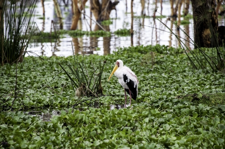 The pelican in Naivasha lake of Kenya  photo