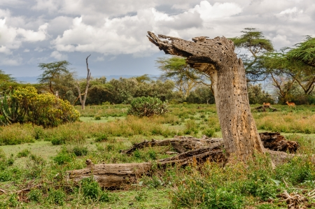 naivasha: the death tree in Crescent island of Naivasha lake, Kenya