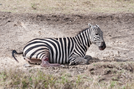crater lake: A  injured zebra in Crater lake national park of Kenya