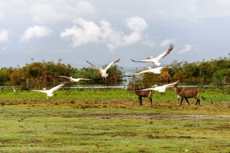 The flying pelicans in Naivasha lake of Kenya  photo