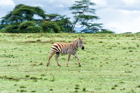 lake naivasha: The Zebra in Crescent island of Naivasha lake, Kenya