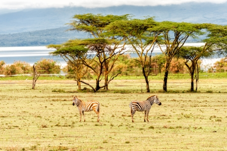 lake naivasha: The Zebras in Crescent island of Naivasha lake, Kenya