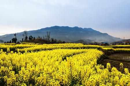 cole: I fiori cole sotto il sole sulla montagna in Anshun, provincia di Guizhou della Cina.