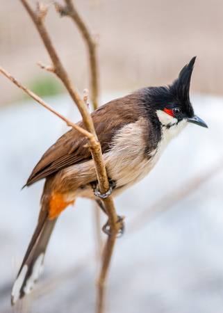 parus: thecrested bunting in the spring time on the mountain area of  the suburb of Beijing