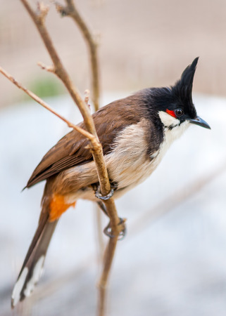 parus: thecrested bunting in the spring time on the mountain area of  the suburb of Beijing. Stock Photo