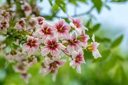 Close up of blooming wild cherry (Prunus avium) in spring