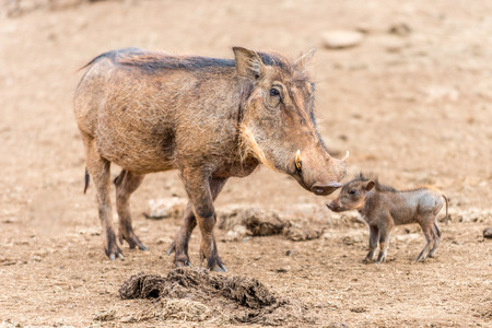bush hog: A female warthog (Phacochoerus africanus) with her baby standing at Treetops Lodge of Kenya, Africa.