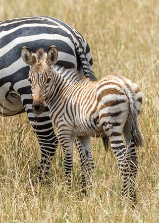cebra: El beb� de la cebra de Grevy (Equus grevyi), a veces conocida como la cebra imperial, es la especie m�s grande de cebra. Se encuentra en la reserva de Masai Mara en Kenia �frica.