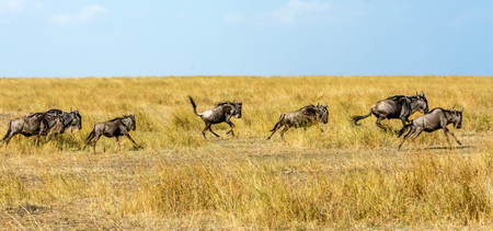 runing: Runing Wildebeests in Maasai Mara Safari of Kenya, Africa. Stock Photo