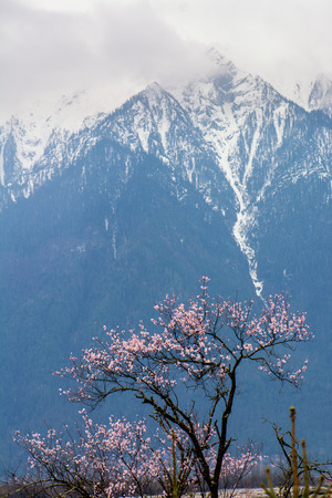 original ecological: the wild tibetan peach blossoms with the snow mountain background in Linzhi(Nyingchi), Tibet China.