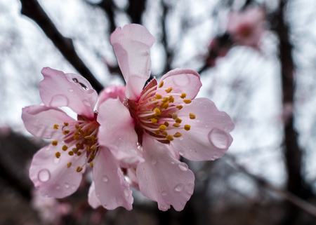 dewdrop: the detailed wild tibetan peach blossoms with dewdrop in Bomi, Tibet.