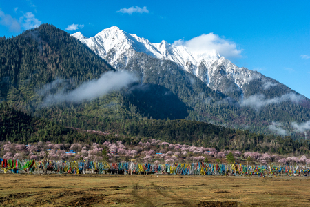 mi: The snow mountain with in front of the wild tibetan peach blossoms and prayer flags in Bo mi, tibetan plateau.
