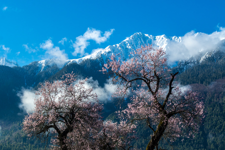 mi: The snow mountain with in front of the wild tibetan peach blossoms in Bo mi, tibetan plateau.