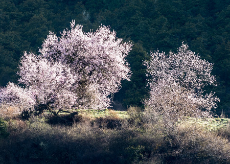 original ecological: the detailed wild tibetan peach blossoms with in Bomi, Tibet.