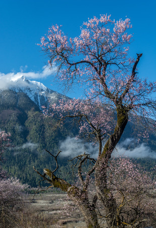 bo: the wild tibetan peach blossoms with the snow mountain background in Bo Mi, Tibet China.