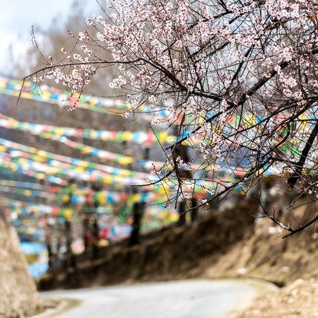 original ecological: the wild tibetan peach blossoms with the prayer flags covered road background in Nyingchi,Tibet of China. Stock Photo