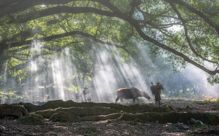 17 August 2016, the farmer is going to work under huge banyan tree with the foggy sunshine morning in yangjiaxi village of Xiapu county, Fujian province. Editorial