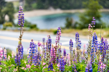 ruta: The famous National Route 40 or RN40, often called Ruta 40 with Lupines under the shower near Bariloche, Argentina.