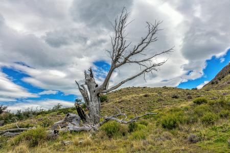 chalten: the died old tree in the mountain Patagonia, near EL Chalten, Argentina.