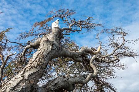 deformed: Tree deformed by wind on Tierra del Fuego, Patagonia, Argentina.