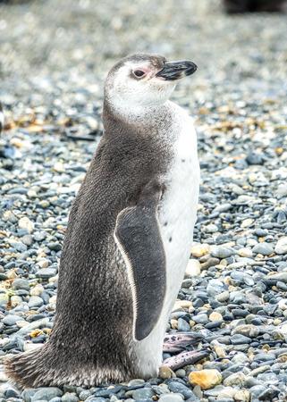 tierra del fuego: the Magellanic penguin on the Islands of Tierra del fuego (Islas de Tierra del Fuego), Patagonia, Argentina.