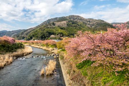 The yoshino cherry in bloom at Kawazuikadaba, Shizuoka Prefecture, Japan. Stock Photo
