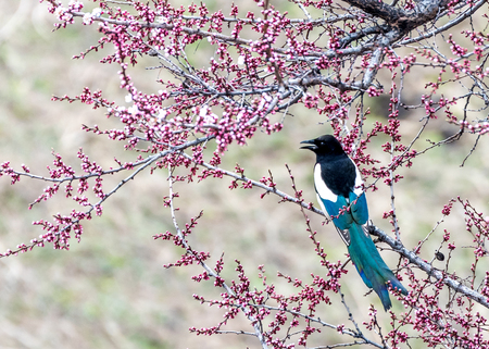An Eurasian Magpie (Pica pica) perched on the apricot tree at the apricot valley in spring season of Xinyuan county of Yili, Xinjiang.