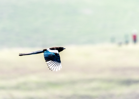 pica: An Eurasian Magpie (Pica pica) flying on the apricot valley in spring season of Xinyuan county of Yili, Xinjiang. Stock Photo