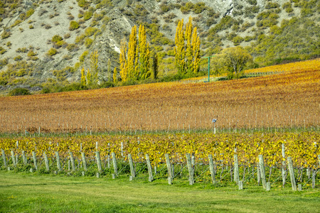 The colourful grape plantations at Arrow town in Autumn south island of New Zealand.
