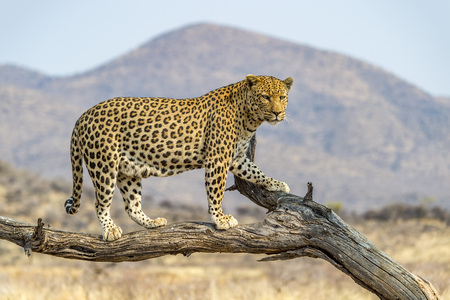 A Leopard in Dusternbrook Cheetah Manor of Namibia. Stock Photo